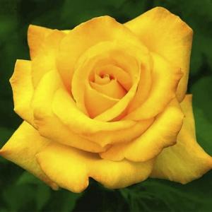 Тасманская Желтая Роза (цена за штуку)