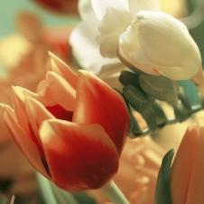 Испанские Красные Тюльпаны
